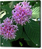 South African Flower 2 Acrylic Print