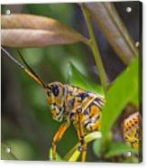 Southeastern Lubber Grasshopper Acrylic Print