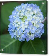 Southern Blue Hydrangea Blooming Acrylic Print