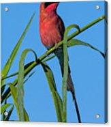 Southern Carmine Bee-eater  Acrylic Print