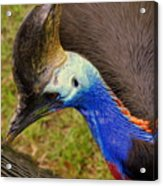 Southern Cassowary Acrylic Print