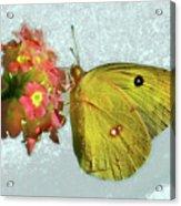 Southern Dogface Butterfly Feasting On December Lantanas Austin V2 Acrylic Print