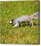 Southern Fox Squirrel Acrylic Print