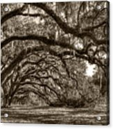 Southern Live Oaks With Spanish Moss Acrylic Print