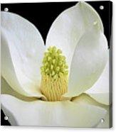 Southern Magnolia 2 Acrylic Print