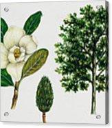 Southern Magnolia Or Bull Bay  Acrylic Print