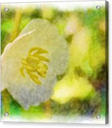 Southern Missouri Wildflowers - Mayapples Bloom - Digital Paint 2 Acrylic Print