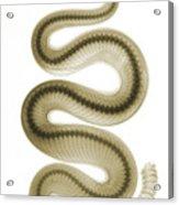 Southern Pacific Rattlesnake, X-ray Acrylic Print