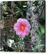 Southern Pink Camellia Acrylic Print