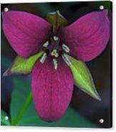 Southern Red Trillium Acrylic Print