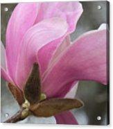 Southern Saucer Magnolia Closeup Acrylic Print