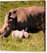Southern White Rhino With A Little One Acrylic Print