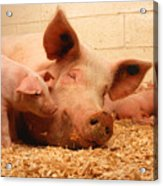 Sow And Piglets Acrylic Print