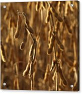 Soybean Crop In Kutztown Pa Acrylic Print by Anna Lisa Yoder