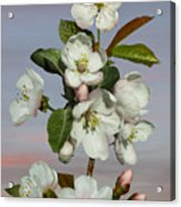 Spade's Apple Blossoms Acrylic Print