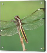 Spangled Skimmer Dragonfly Female Acrylic Print