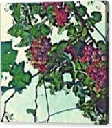 Spanish Grapes Acrylic Print