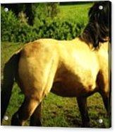 Spanish Horse Dancing Acrylic Print