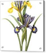 Spanish Iris Acrylic Print