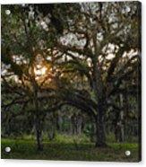 Spanish Moss During Sunset Acrylic Print