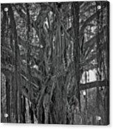 Spanish Moss Of The Tree Acrylic Print