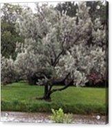 Spanish Olive Tree Acrylic Print