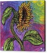 Spanish Sunflower Acrylic Print
