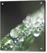 Sparkling Dew Acrylic Print