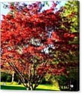 Sparkling Japaneese Maple Tree Acrylic Print