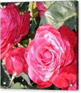 Sparkling Roses Acrylic Print