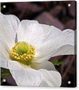 Sparkling White Anemone Acrylic Print