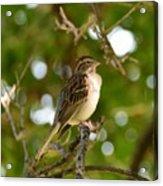 Sparrow-1 Acrylic Print