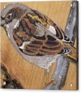 Sparrow 1 Acrylic Print