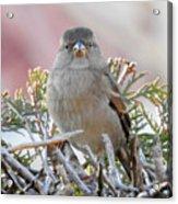 Sparrow 2 Acrylic Print