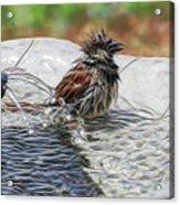 Sparrow Bath Time 9242 Acrylic Print