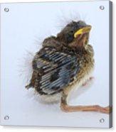 Sparrow Chick Acrylic Print