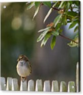 Sparrow In Colonial Williamsburg Acrylic Print