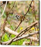 Sparrow In The Thorns Acrylic Print