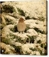 Sparrow In Winter II - Textured Acrylic Print