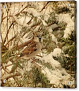 Sparrow In Winter Iv - Textured Acrylic Print