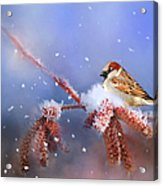 Sparrow In Winter Acrylic Print