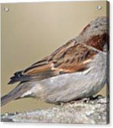 Sparrow Acrylic Print by Melanie Viola