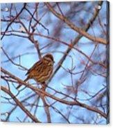 Sparrow On Blue Acrylic Print