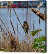 Sparrow On The Cattails Acrylic Print
