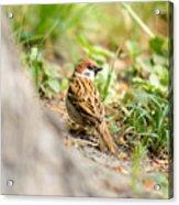 Sparrow On The Ground Acrylic Print