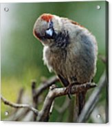 Sparrow Puzzled At What It Sees Acrylic Print