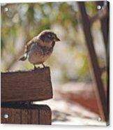 Sparrow. Acrylic Print