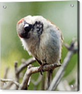 Sparrow Tilts It Head Acrylic Print