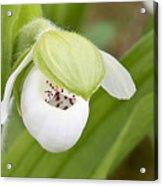 Sparrow's-egg Orchid  Acrylic Print