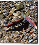 Spawning Salmon - Odell Lake Oregon Acrylic Print